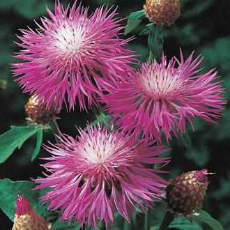 Persian Cornflower Seeds