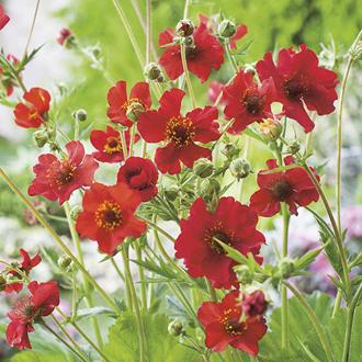 Geum Mrs Bradshaw Seeds