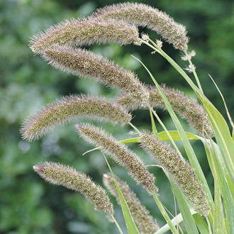 Grass Setaria Lowlander Seeds