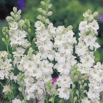 Larkspur White King Seeds