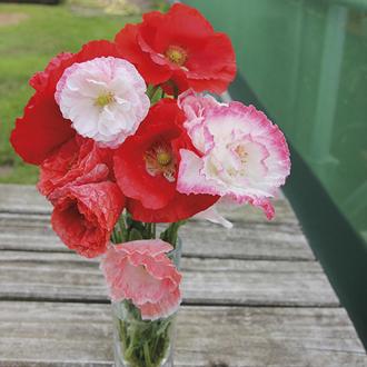 Poppy Falling in Love Seeds
