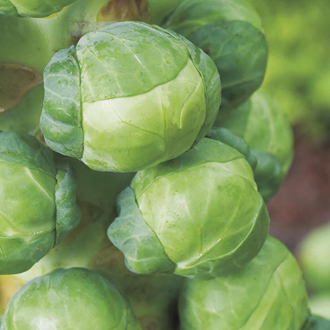 Brussels Sprout Attwood F1 Seeds