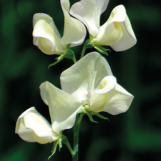Sweet Pea Greenfingers Seeds