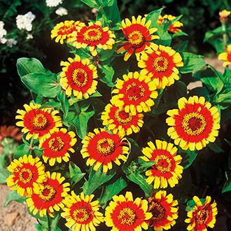Zinnia Sombrero Seeds