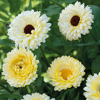 Calendula Snow Princess Seeds