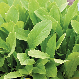 Celtuce (Chinese Lettuce) Seeds