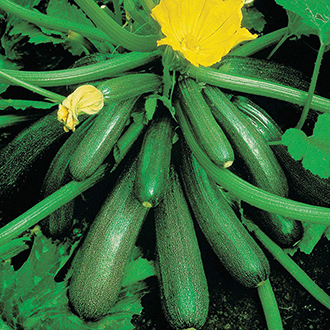 Courgette Tuscany F1 Seeds