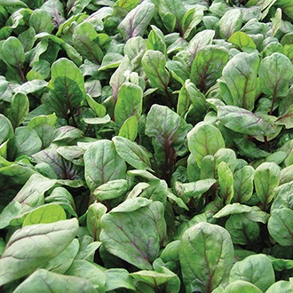 Spinach Red Kitten F1 Seeds