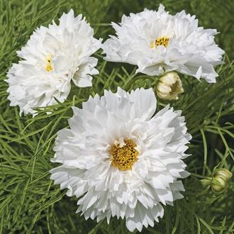 Cosmos Double Dutch White