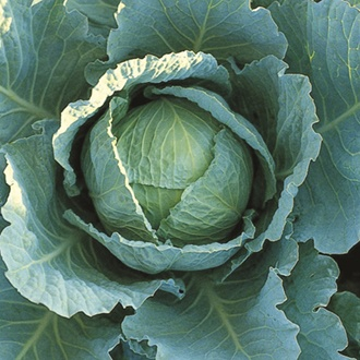 RHS Cabbage (Savoy) Tundra F1