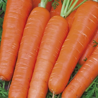 RHS Carrot Maestro F1 Seeds