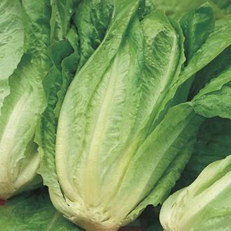 RHS Lettuce Chatsworth (Cos)