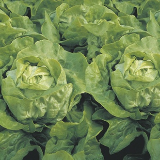 RHS Lettuce Clarion