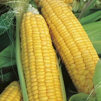 RHS Sweet Corn Lark F1 Seeds