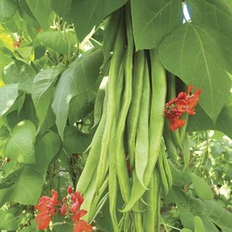 RHS Runner Bean Firestorm Seeds