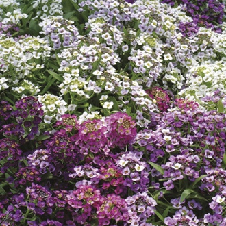 RHS Alyssum Golf Bright Mixed