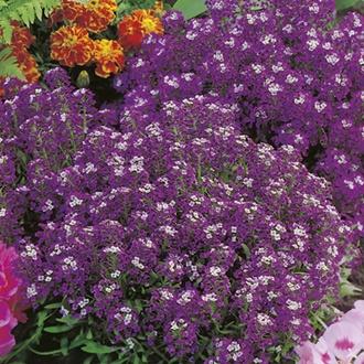 RHS Alyssum Violet Queen