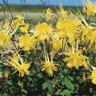 RHS Aquilegia Yellow Queen