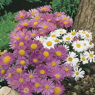 RHS Aster Alpine Mixed