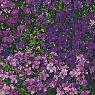 RHS Aubrietia Royal Series