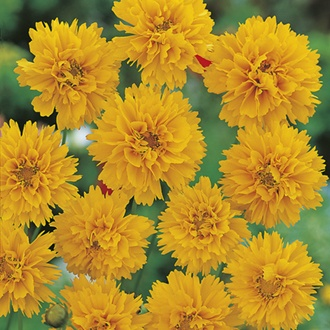 RHS Coreopsis Early Sunrise