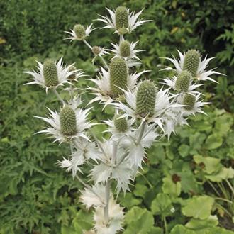 RHS Eryngium Silver Ghost