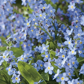 RHS Forget-Me-Not Ultramarine