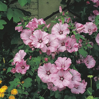 RHS Lavatera Silver Cup