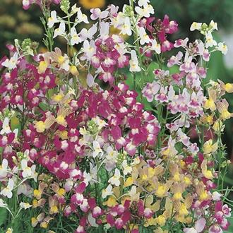 RHS Linaria Fairy Bouquet