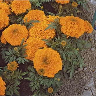 RHS Marigold (African) Inca Orange F1