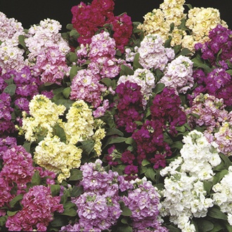 RHS Stock (Selectable) Cinderella Mixed