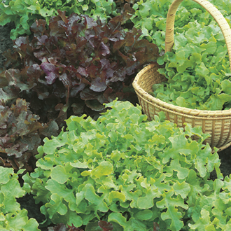 Optigrow Lettuce Salad Bowl Red and Green Mix
