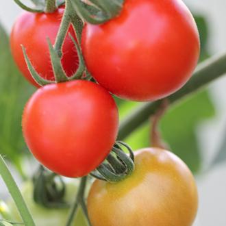 Tomato Mountain Magic F1 Plants