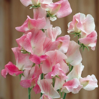 Sweet Pea Terry Wogan