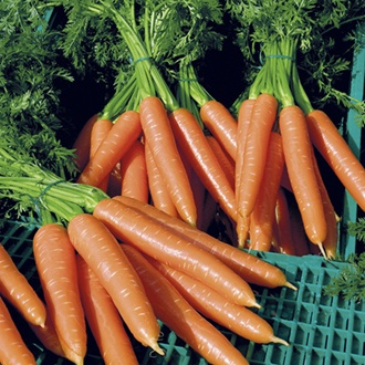 Carrot Volcano F1 Seeds