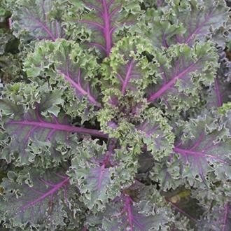 Kale Midnight Sun