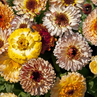 Calendula Playtime Mixed Flower Seeds