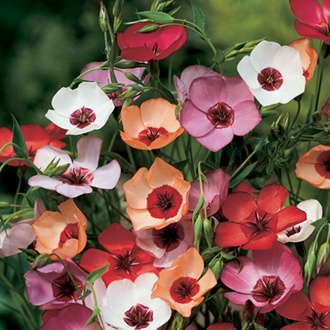 Flax (Linum) Charmer Mix Flower Seeds