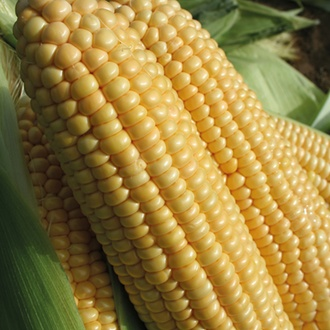 RHS Sweet Corn Goldcrest F1
