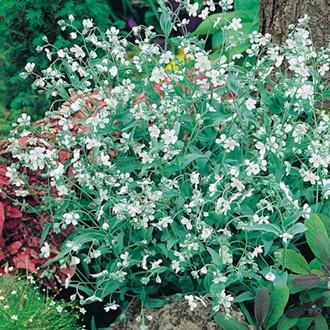 RHS Omphalodes linifolia