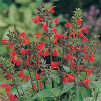 RHS Salvia Lady In Red Flower Seeds