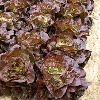 Lettuce Laurenzio