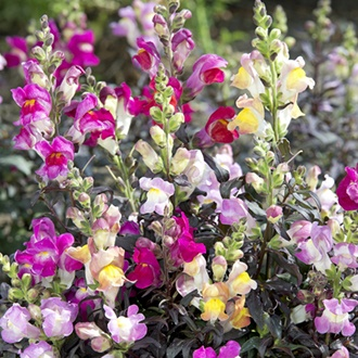 Antirrhinum Twilight Mix Flower Seeds