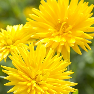 Calendula Porcupine Yellow Flower Seeds