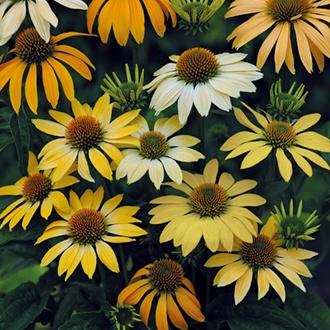 Echinacea Mellow Yellows Flower Seeds