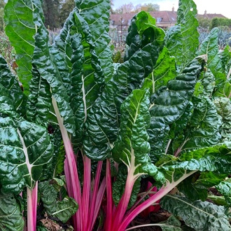 Chard Peppermint Seeds Vegetable Seeds
