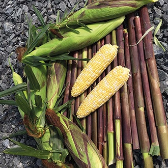 Sweetcorn Picasso F1 Vegetable Seeds