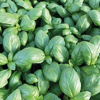 Basil Dolce Vita Herb Seeds