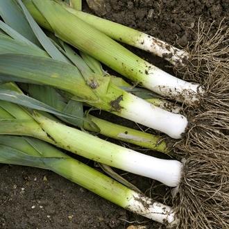 Leek Autora F1 Vegetable Seeds