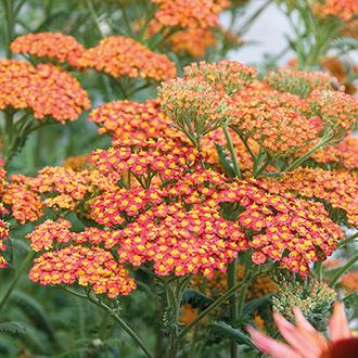 Achillea Walter Funken Plants